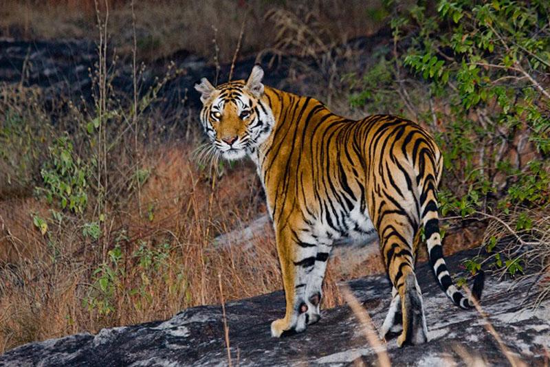 Rummage of Tiger